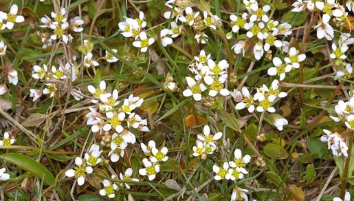 Danish Scurvy-grass