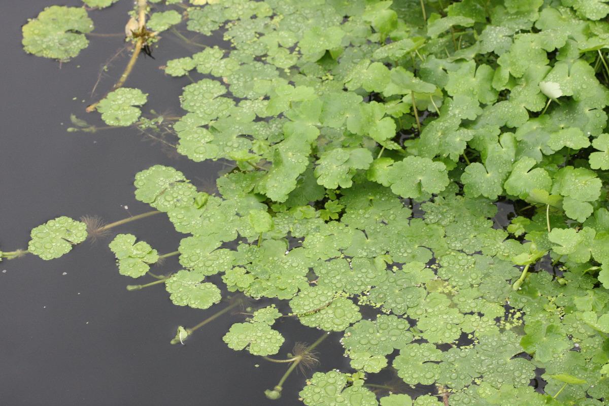 Floating Pennywort
